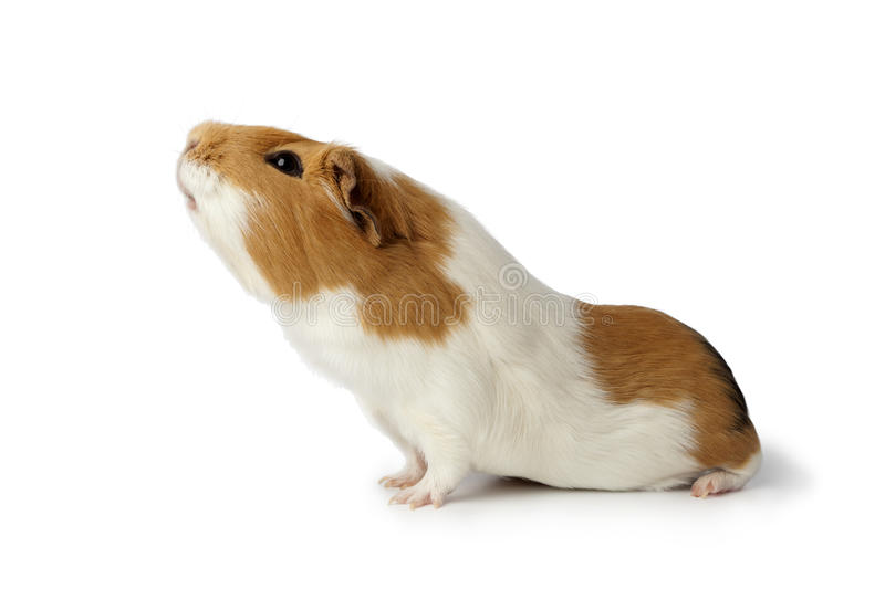 Nosy guinea pig stock photo