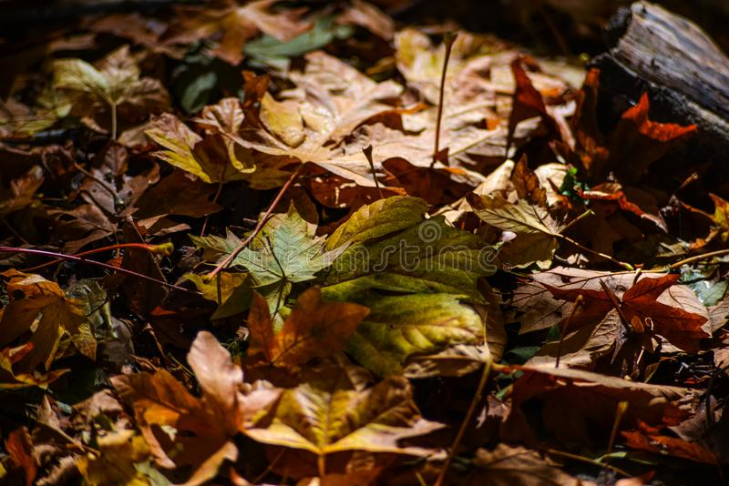 Colorful Down Leaf On The Pacific Northwest Forest Floor In The Deep Of Autumn Season, Washington, United States. Not all the beautiful scenery is at the canopy royalty free stock photos