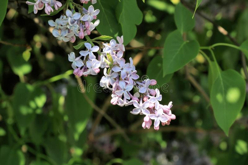 A branch of lilac in the struggle for his life and the whole plant. Not all flowers of lilac are born on the upper branches. But the lower branches of lilac royalty free stock photo