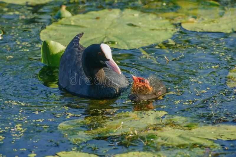 Bald-coot with a baby bird... stock image