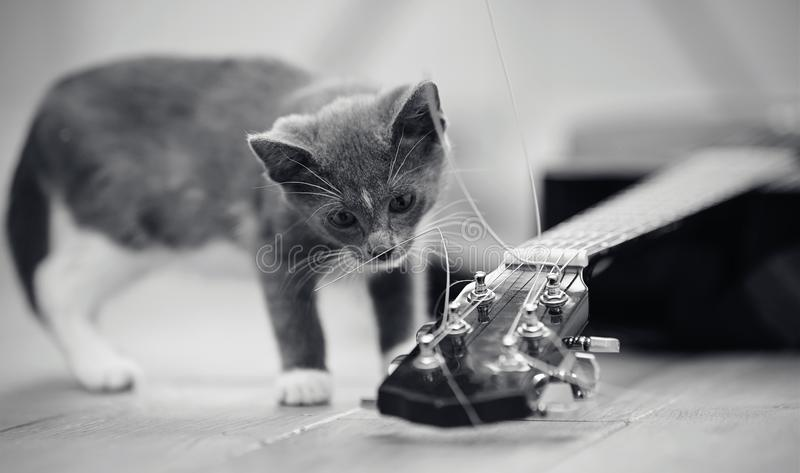 Not the color image of a gray curious kitten and the guitar stock photography