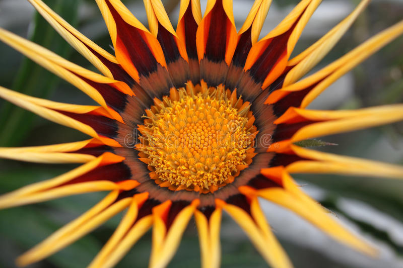 Not dissolve until end of Gazania flower royalty free stock images