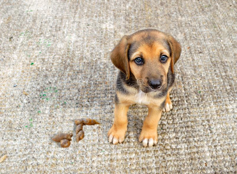 It is not done at home. Puppy dog sitting and looking sadly at camera by pooping on the carpet at home royalty free stock photography
