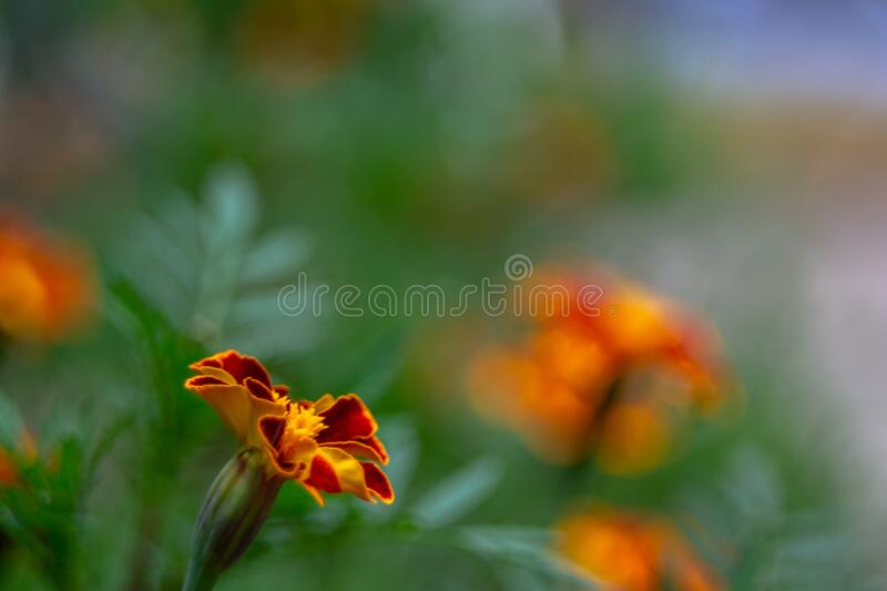 Not until the end of the full -blown flower tagetes. Red-yellow young flower tagetes. The flower is not fully bloomed stock photos