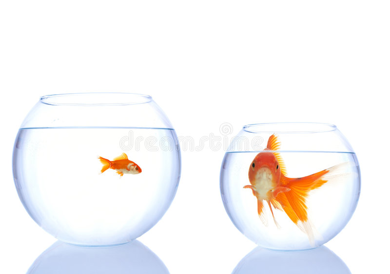 Not enough space. Goldfishes in the bowls, small has more space, big one is not happy about it stock image
