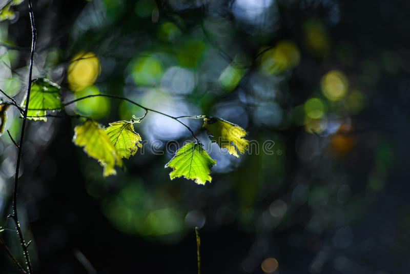Green Leaf On Branches Refuse To Change Color During Fall Season In The Pacific Northwest Forest, Washington, United States. Not every leaf in the Pacific royalty free stock image