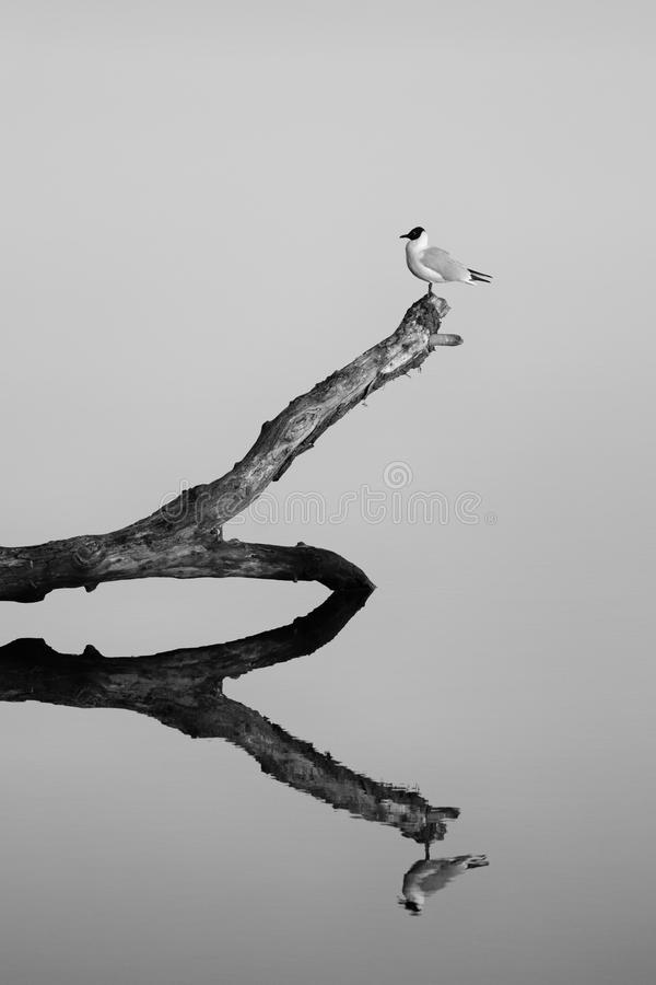 Note of April. Bird on a branch in the river with reflection. Black and white royalty free stock photography