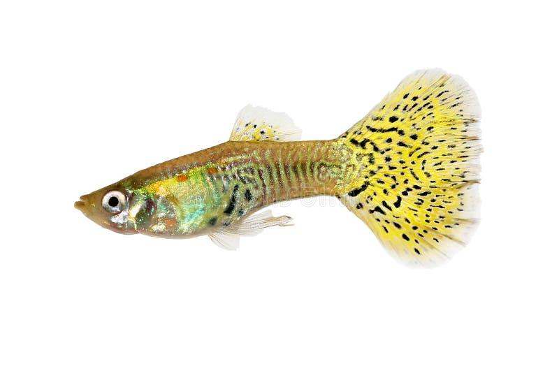 Note tropicale de poissons d'aquarium d'arc-en-ciel coloré de reticulata de Poecilia de guppy de delta au rédacteur : photos libres de droits