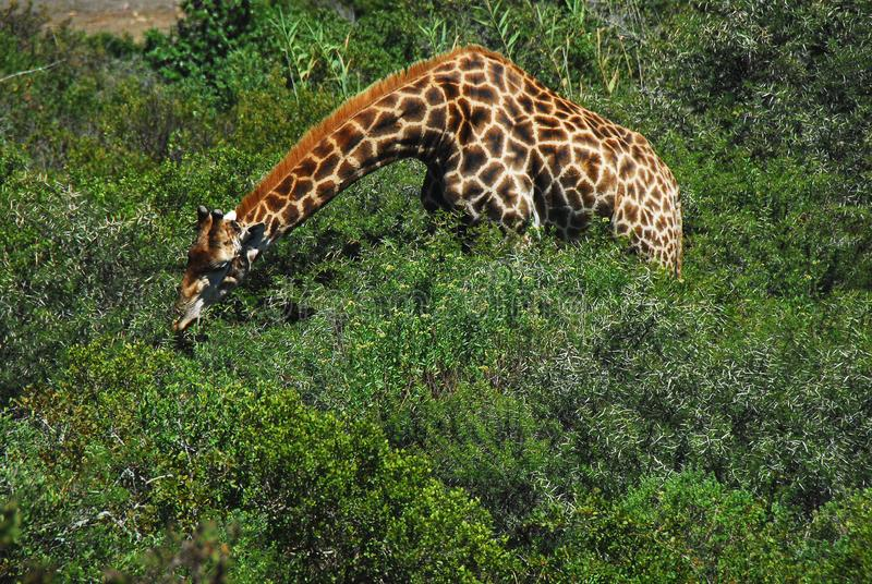 Africa- A Giraffe With Neck Stretched to Eat Thorn Bush Leaves. Note the very long neck of this beautiful Giraffe stretched over thorn bushes to find the best stock images