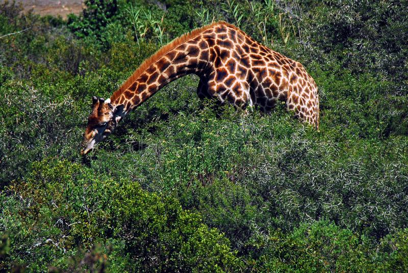 Africa- A Giraffe With Neck Stretched to Eat Thorn Bush Leaves. Note the very long neck of this beautiful Giraffe stretched over thorn bushes to find the best royalty free stock photo