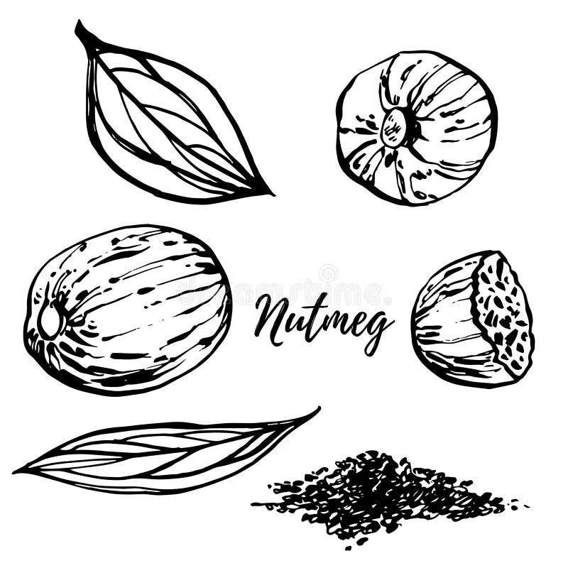 Notemuskaat en bladeren vectorhand getrokken illustratie Inktschets van noten Hand getrokken vectorillustratie Geïsoleerd op wit vector illustratie