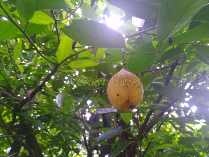 Notemuskaatvruchten in boom stock afbeeldingen