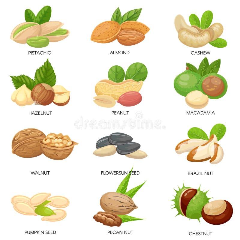 Noten en zaden Ruwe pinda, macadamia noot en pistachesnacks Geïsoleerde installatiezaden, gezond cachou en zonnebloemzaad vector illustratie