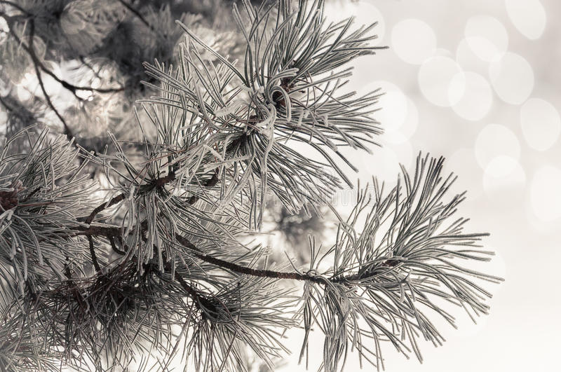 It is nothing like Christmas!. Close up of frosted pine neddles and branches against sky blurred background royalty free stock photos