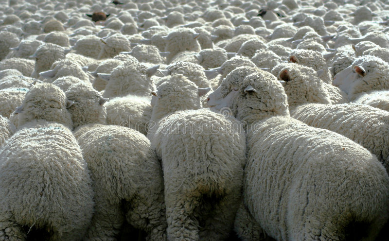 Nothing But Wool 3 stock photo