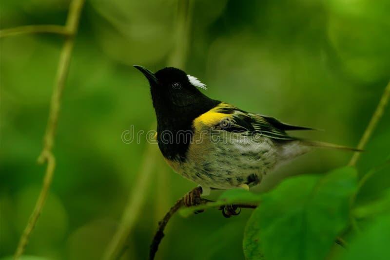 Notiomystis cincta - Stitchbird - Hihi arkivbilder
