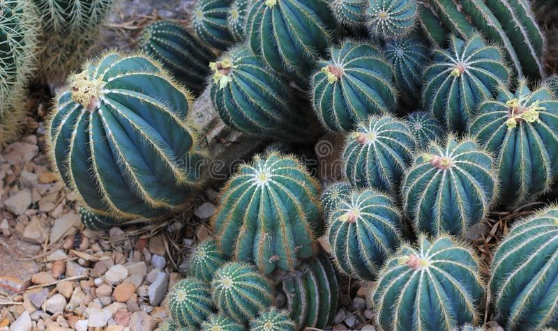 Balloon Cactus or Green Ball Cactus. Notocactus Magnificus, Grows in South America from Brazil, Argentina to Paraguay. Does well in colder climate stock photography