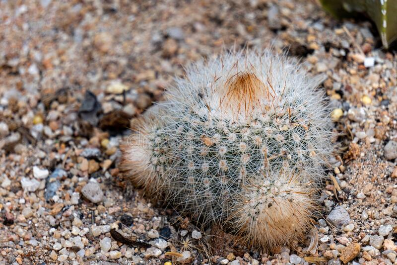 Notocactus or Parodia tenuicylindrica is a genus of flowering plants in the cactus family Cactaceae, Endemic to South America. They are globose deeply ribbed stock photography