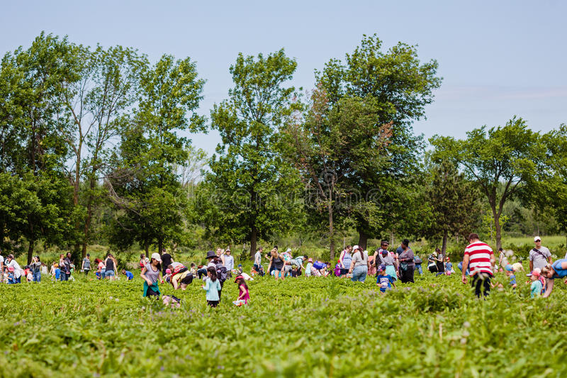 Notre-Dame-de-l`Ile-Perrot, Quebec, Canada - June 24, 2017: People picking strawberries at pick your own farm Quinn. People picking strawberries at pick your own royalty free stock image