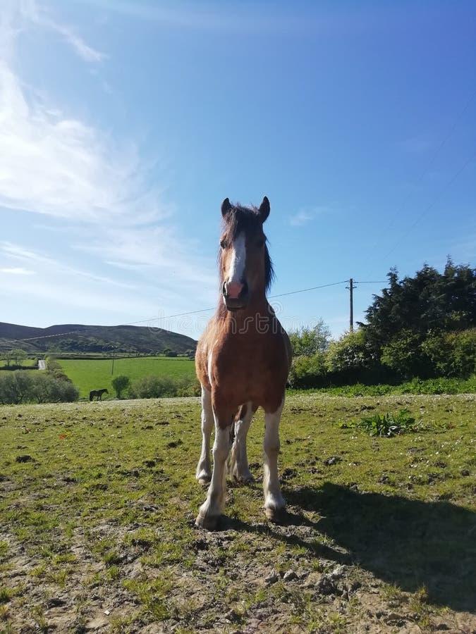 Notre tico de cheval image stock