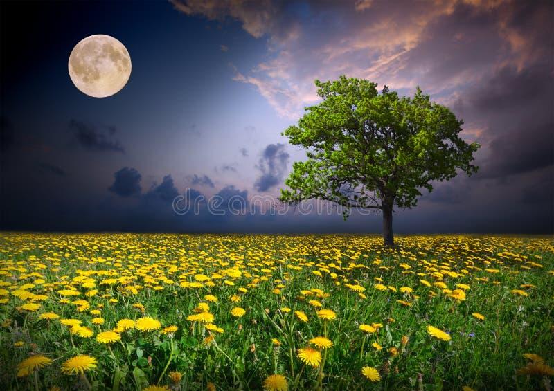 Notte e la luna su un giacimento di fiori giallo fotografia stock libera da diritti