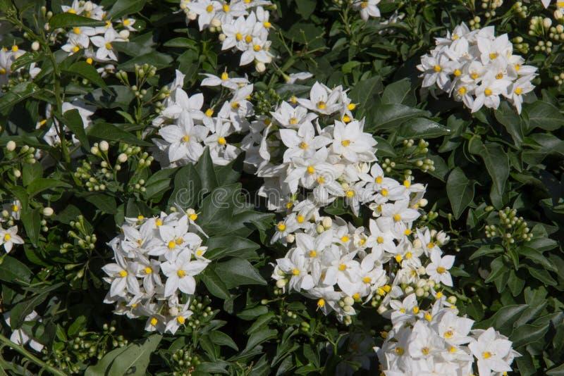 Notte Jasmine Plant fotografia stock