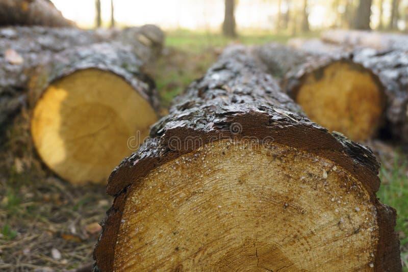 Notuj?cy, mn?stwo bele k?ama na ziemi w lasowych rozci?cie puszka drzewach, lasowy zniszczenie zamyka w g?r? drzewnego baga?nika obraz stock