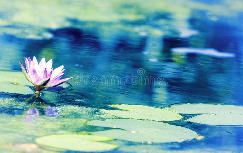 Nouchali blu di Lotus Water Lily Nymphaea immagine stock
