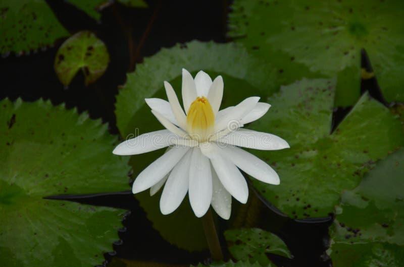 Nouchali del Nymphaea - blanco - flores de Manel del lirio de agua fotografía de archivo