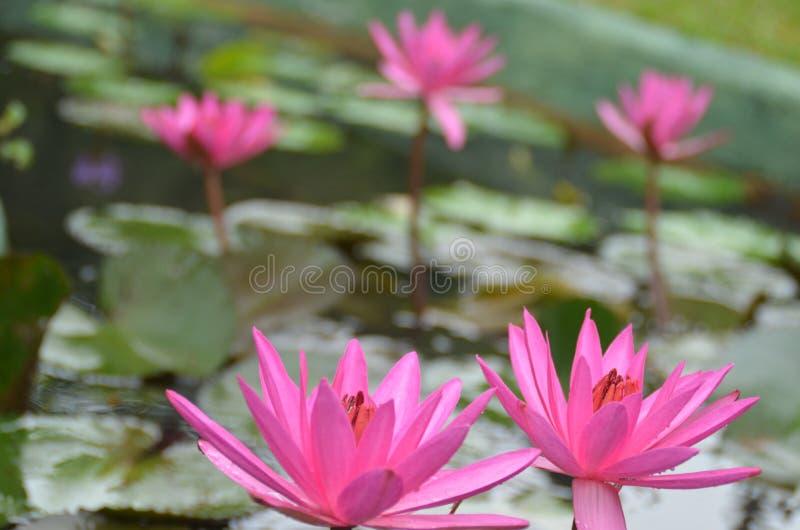 Nouchali del Nymphaea - rojo - flores de Manel del lirio de agua foto de archivo libre de regalías