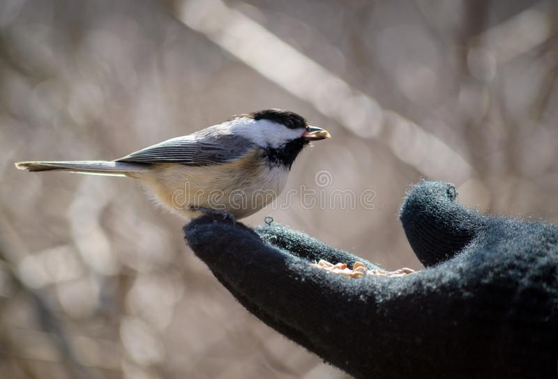 Nourrir à la main un Chickadee photos libres de droits