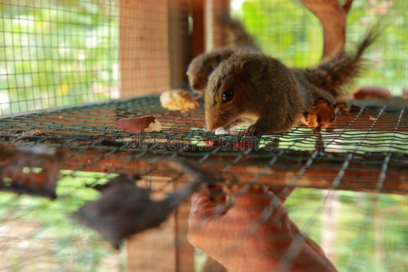 Nourrir l'écureuil à Cage, Indonésie images stock