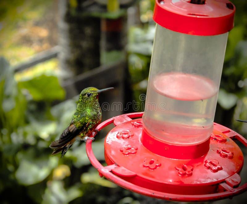 Nourrir le colibri photo stock