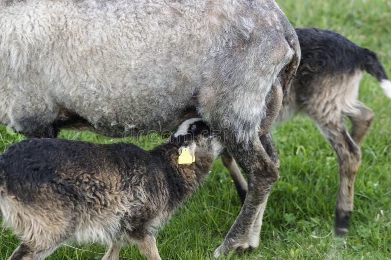 Nourrisson d'agneau photos libres de droits