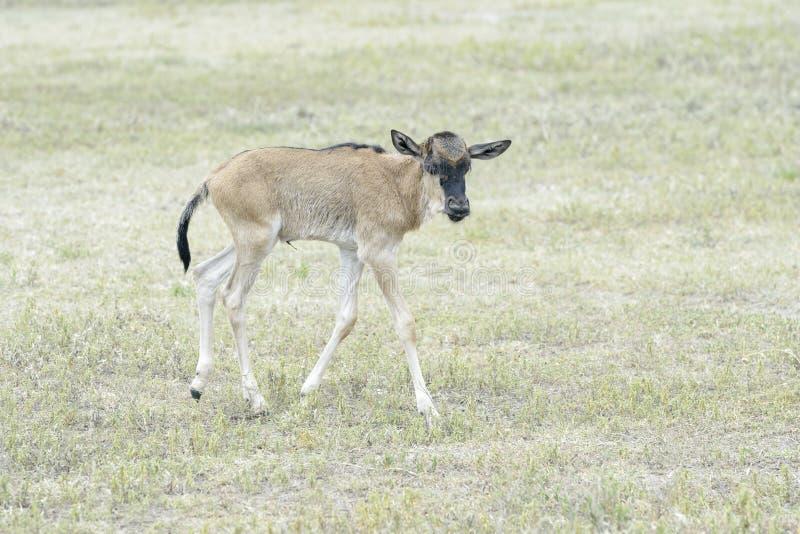 Nourrisson nouveau-né de Blue Wildebeest images stock