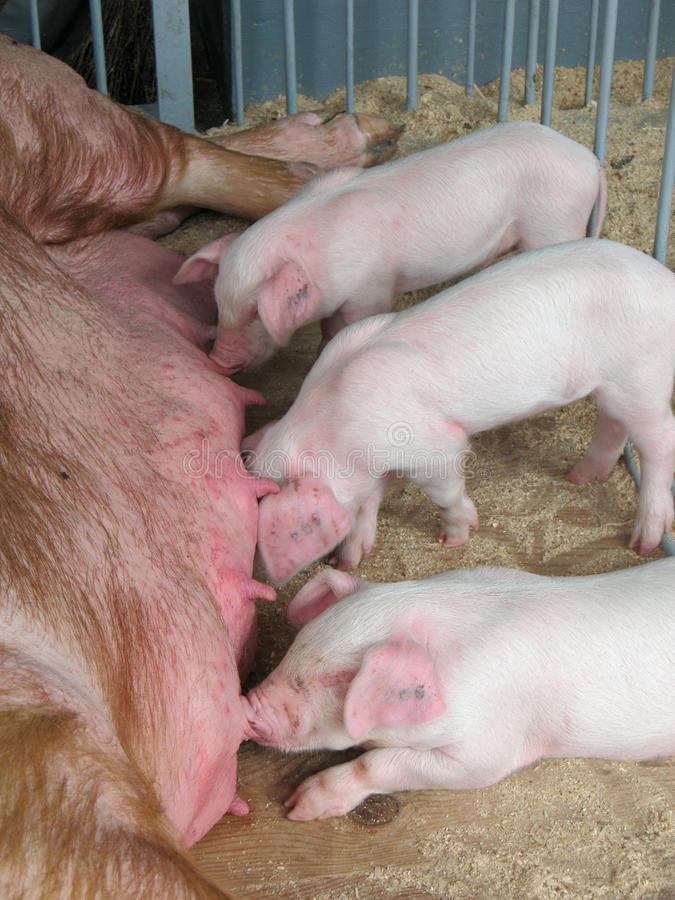 Nourrisson porcin de lait image stock
