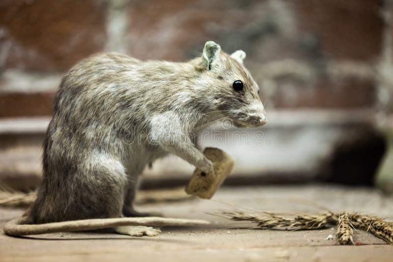 Nourriture animale de pain de consommation de rat images libres de droits