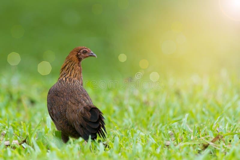Nourriture colorée d'investigation de poulet pendant le matin images libres de droits