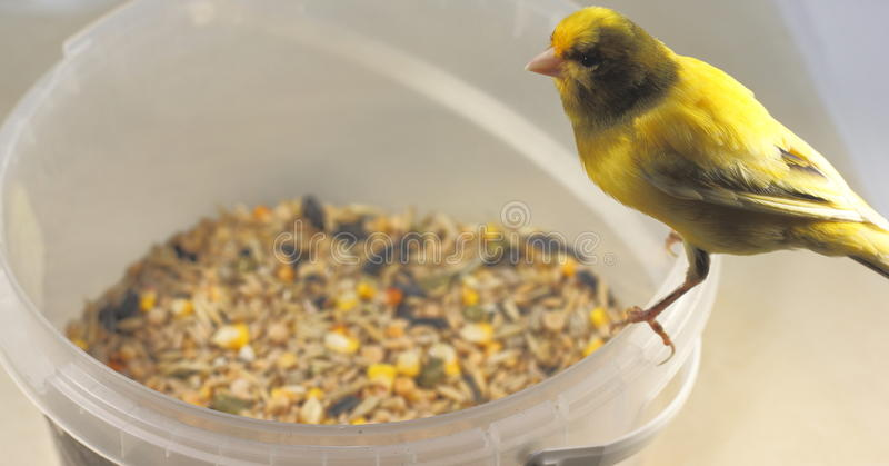 Nourriture de grain pour des oiseaux d'animal familier photographie stock libre de droits