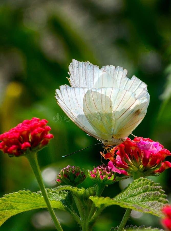 Nourriture pour un papillon dans le jardin photo libre de droits