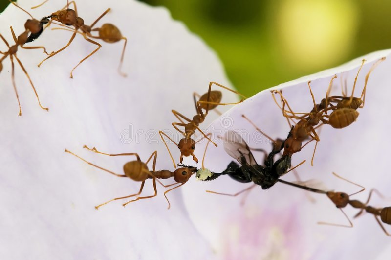 Nourriture rouge de fourmis photographie stock