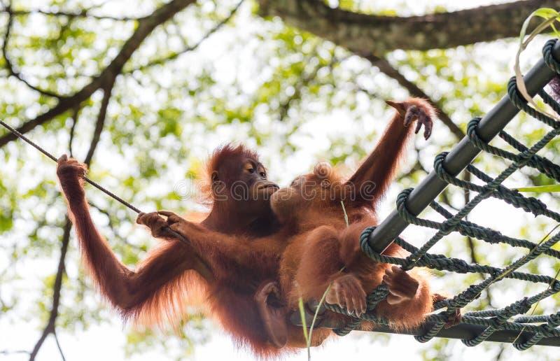 Nous aimons l'orang-outan Utans image stock
