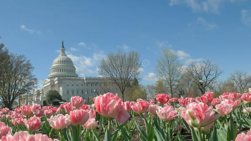 Nous bâtiment de capitol avec DC de Washington rose de tulipes photos stock