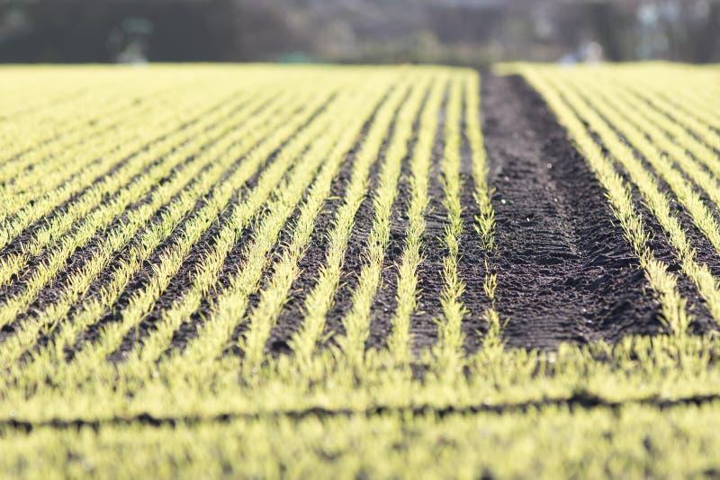 Nouveau culture de ferme dans le terrain labouré Foyer de Selecive photographie stock libre de droits