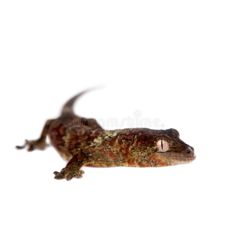 Download Nouveau Gecko Calédonien Moussu D'isolement Sur Le Blanc Image stock - Image du gecko, endémique: 56487775