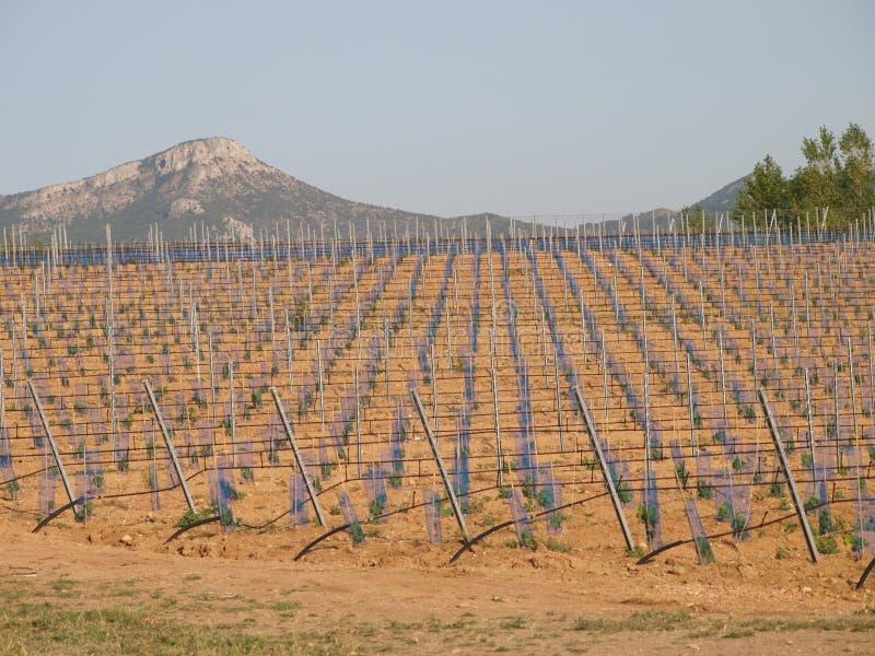 Nouveau gisement de structure de vignobles photos libres de droits