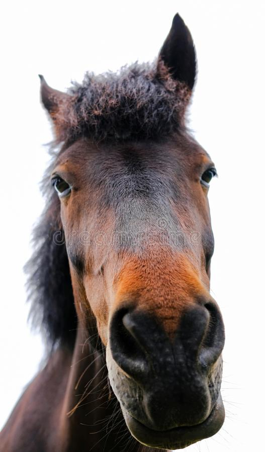 Nouveau poney de forêt montrant le détail fin de sa tête et Maine photographie stock