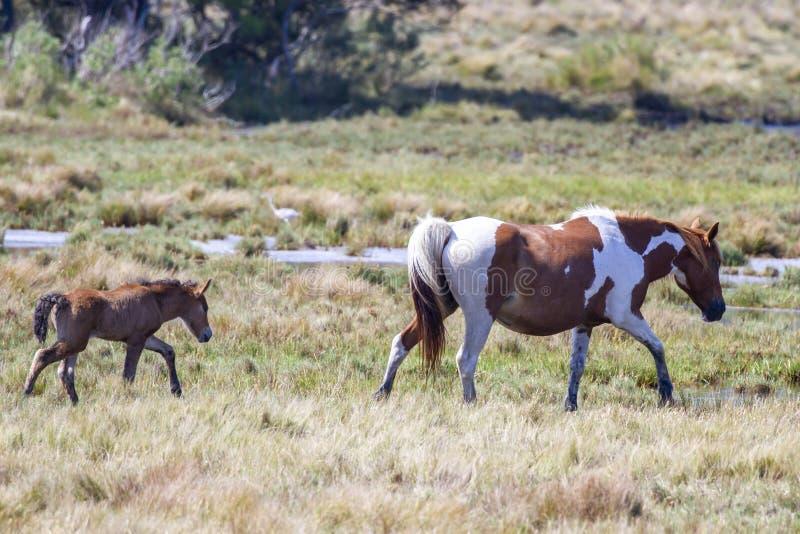 Nouveau poulain et jument dans le troupeau de Chincoteague Ponies photo stock