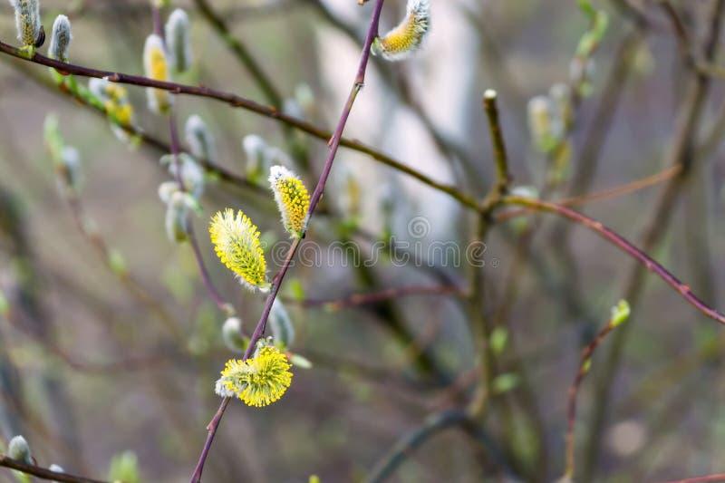 Nouveaux bourgeons pelucheux sur une branche d'arbre photographie stock libre de droits