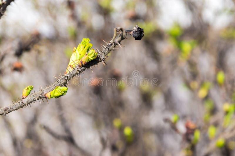 Nouveaux bourgeons sur une branche d'arbre photographie stock